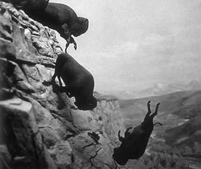Bison going over a cliff