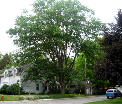 This mature maple is not currently protected by municipal legislation (Photo Credit: Maggie Fox)
