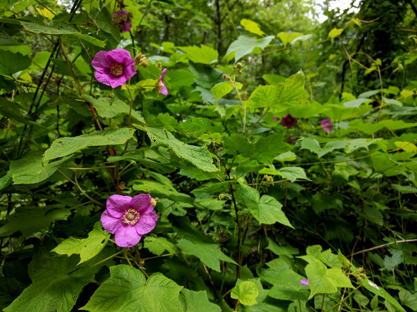 Purple flowering raspberry on the Escarpment Trail