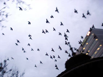 Pigeons wheel over the fountain