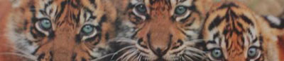 There is no escaping the gaze of the tigers